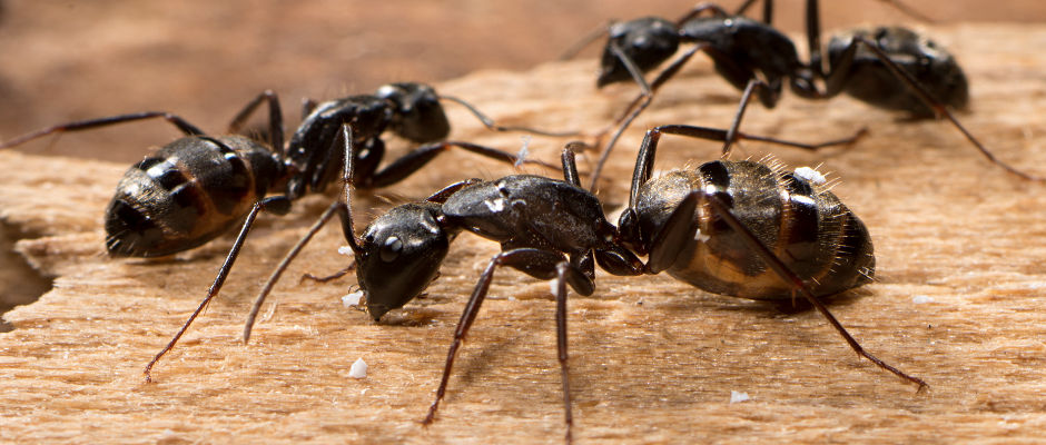Ant Pest Removal