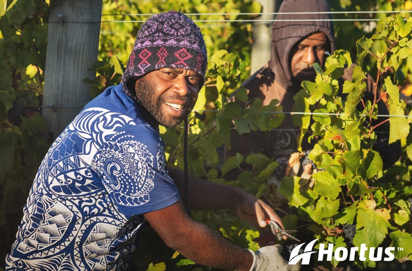 Hand harvest for one of our client's vineyards
