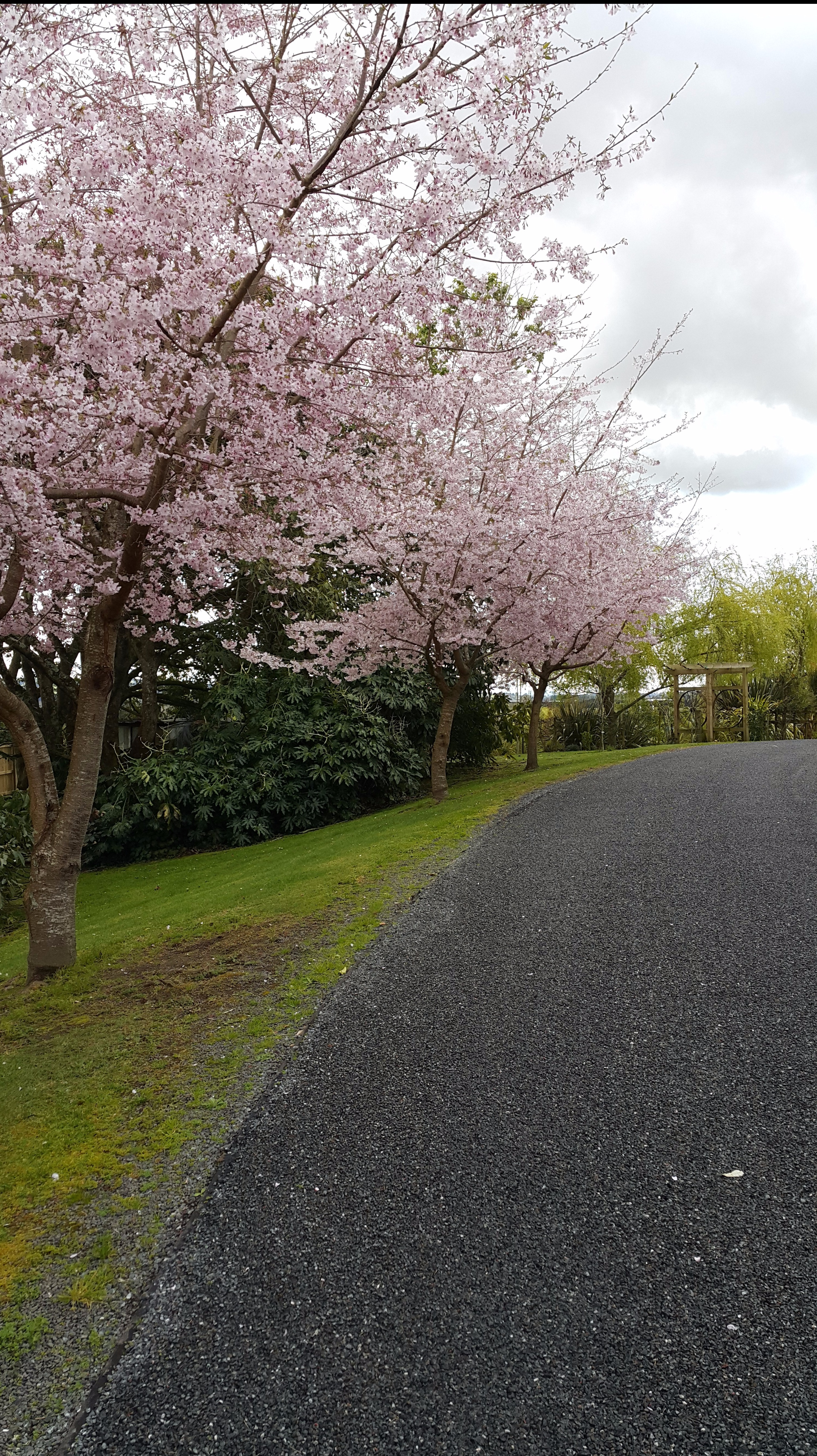 Cherry Blossom Lined Driveway