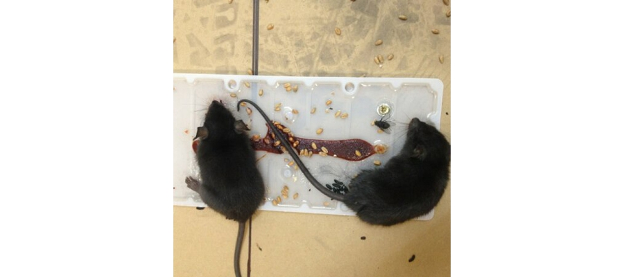 Rodent Control (rats & mice)